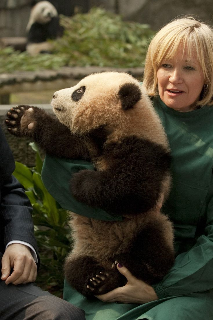 Tories Vow To Double Canada's Panda Population, If Elected. Wonderful. We have need of jobs, a stronger economy, some form of medical care plan for our growing population of elders, better care for our vets, military equipment, etc. & Harpo is stopping it all to give us more pandas. Just exactly how does a PM plan do this? Money for the wildlife fund, the Toronto Zoo? to help with insemination of pandas?