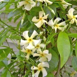 Trachelospermum ou jasmin étoilé (Fiches plantes)