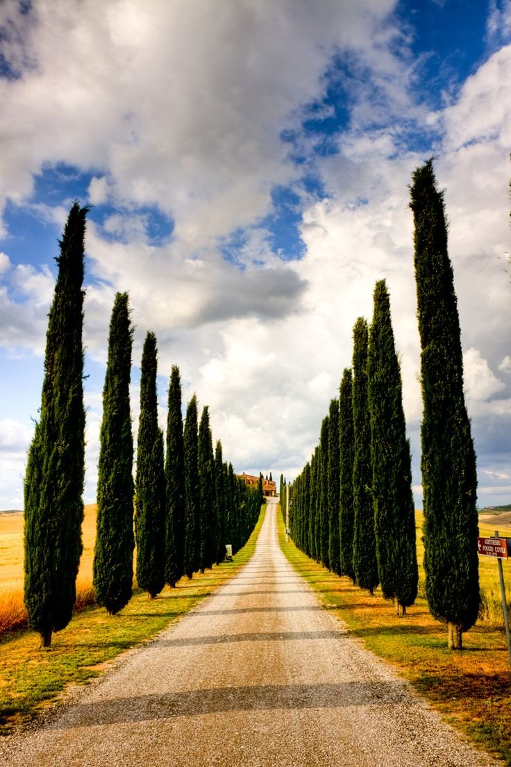 Cypress, the symbol of tuscan landscape