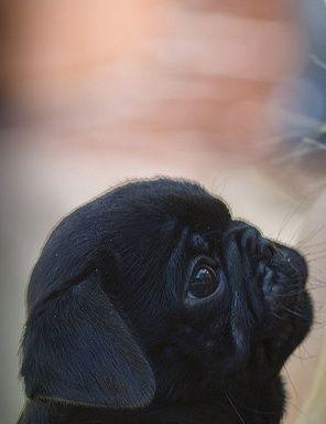 Stargazing pug, oh my soul