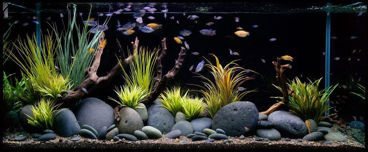 Aquarium Design Group - An Aquascaped Aquarium featuring Gourami