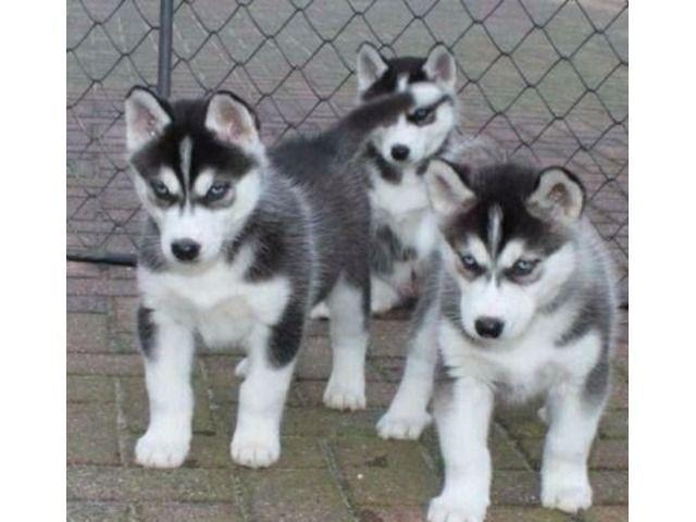 Siberian Husky Puppies Siberian Husky Puppies Husky Puppy Husky