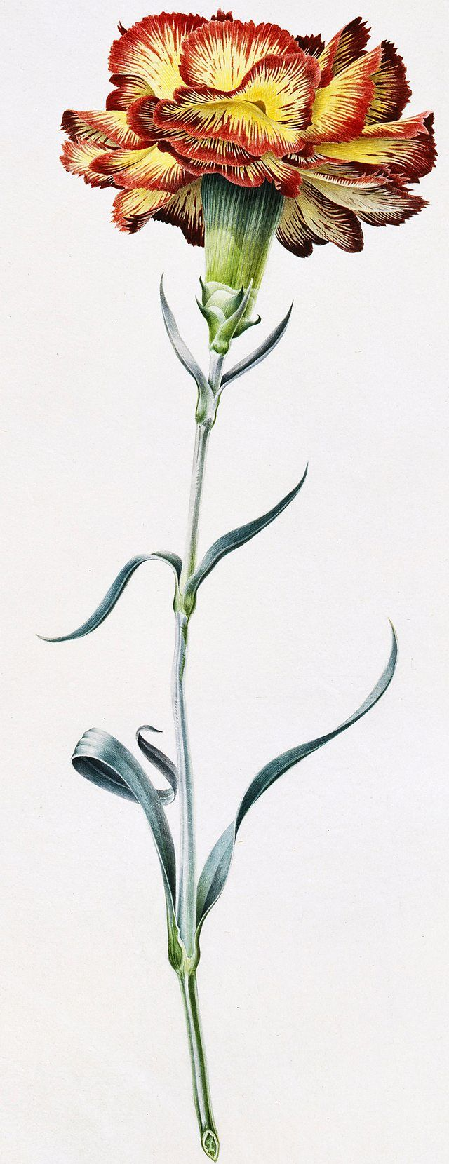Rory McEwen, Allwood's Carnation I, 1962 | Watercolour on vellum BBC - BBC Arts - In Search of Rory McEwen