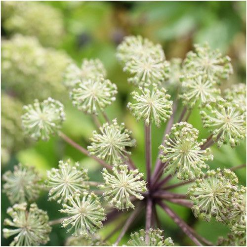 Angelica Herb Seeds (Angelica archangelica)