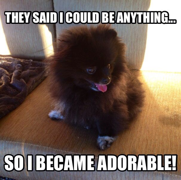 Find This Pin And More On Pomeranian Memes Teacup