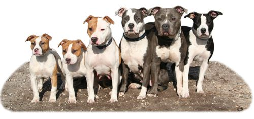 Daydreamers | American Staffordshire Terrier Kennel | Home