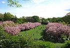 If you live in NYC or visiting soon this website shoes your map of the Brooklyn botanical gardens and how many of their Cherry blossoms are in bloom.
