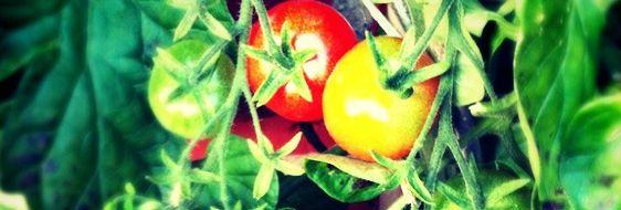 Indhold1+Hvornår+skal+jeg+så+tomater1.1+Såning+af+tomater+og+tips+til+tomatplanter2+Hvornår+skal+jeg+så+agurker2.1+Såning+af+agurker+og+tips+til+agurkeplanter3+Hvornår+skal+jeg+så+auberginer3.1+Såning+af+auberginer+og+tips+til+auberginer4+Hvornår+skal+jeg+såpeberfrugt4.1+Såning+af+peberfrugt+og+tips+til+peberfrugt5+Hvornår+skal+…