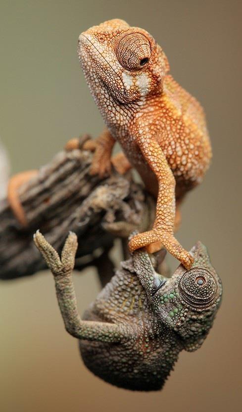 Chameleons. I was up here first!