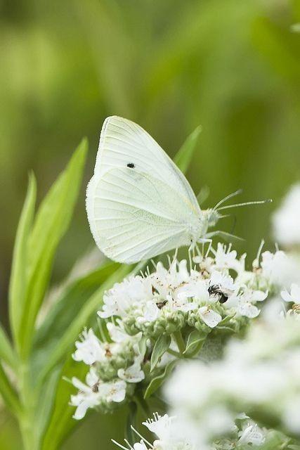 Pin Van Sunshine Op Butterflies In 2020 Witte Bloemen Vlindertuin Vlinders