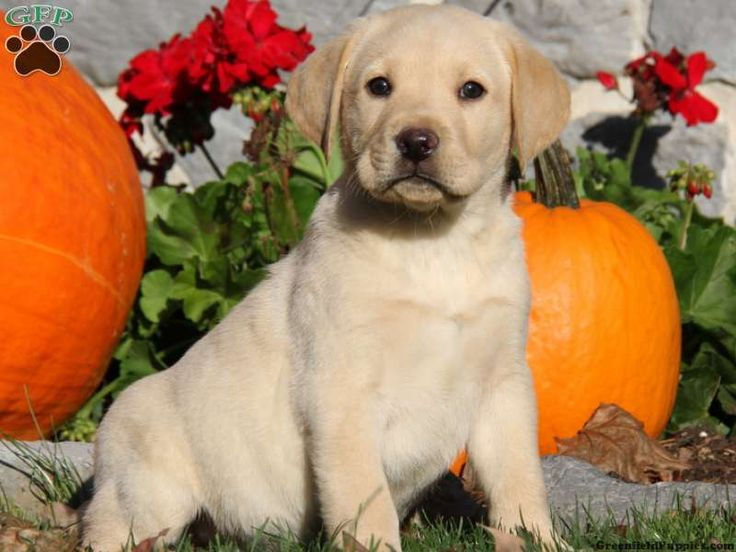 Gage, Yellow Lab puppy for sale from Leola, PA