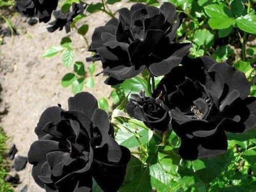 Las rosas de Halfeti, las únicas rosas negras que existen en la naturaleza