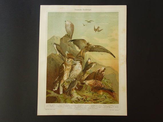 old bird print  original 1909 antique poster by DecorativePrints