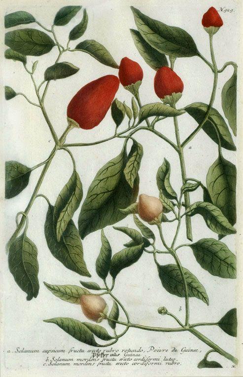 Johann Weinmann - Solanum capsicum (1737-1745)