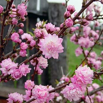 Dwarf Flowering Almond (Prunus glandulosa'Rosea Plena')  We have a large bush that came from a cutting from my mother's garden.  The bush is at the end of the brick wall beside the driveway.