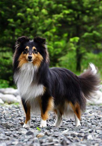 Tri-color Sheltie (shetland) Sheepdog | Puppy Love