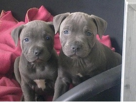 Blue staffy puppies....  I want one of these!!
