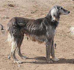 Taigan hound. Kirghizistan