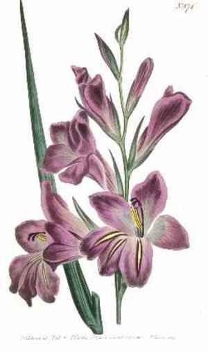 the Gladiolus flower signifies remembrance. It also expresses infatuation, telling the receiver that he or she pierces the heart. It also stands for strength of character, faithfulness and honor.