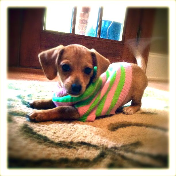 Fifi our Chiweenie puppy ready for take off :)