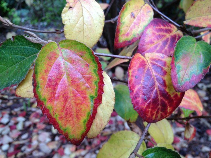 Winter colour at Williamstown Botanic Gardens