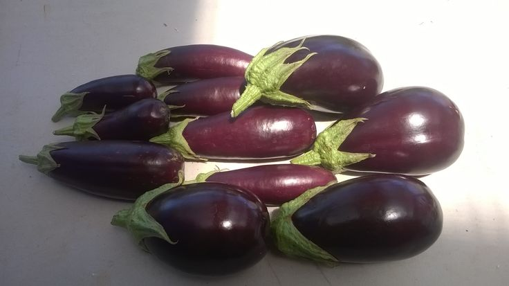 Eggplant cropping steadily... hmmm...time for eggplant parmigiana!