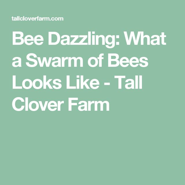 Bee Dazzling: What a Swarm of Bees Looks Like - Tall Clover Farm