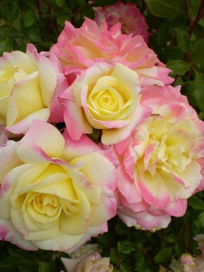 Easy Elegance Music Box Rose, full sun, disease-resistant