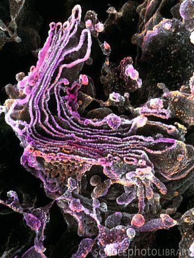 I love how pretty cells are under the microscope. Golgi Apparatus.
