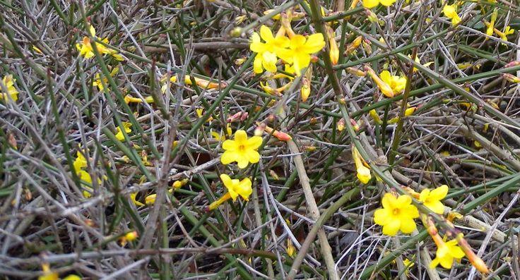 Garten und Landleben: Winterjasmin