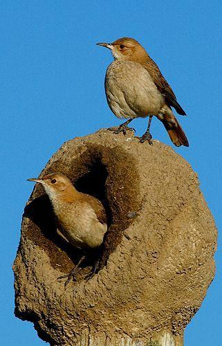 Nido de barro hecho por el pájaro hornero