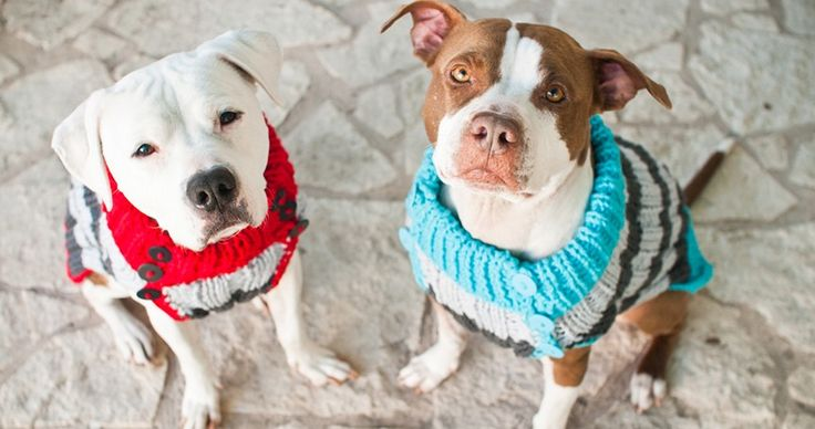 19 Reasons Why You Should Never Own a Pit Bull