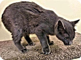 Williston Park, NY - Domestic Shorthair. Meet Clear, a kitten for adoption. http://www.adoptapet.com/pet/17102129-williston-park-new-york-kitten
