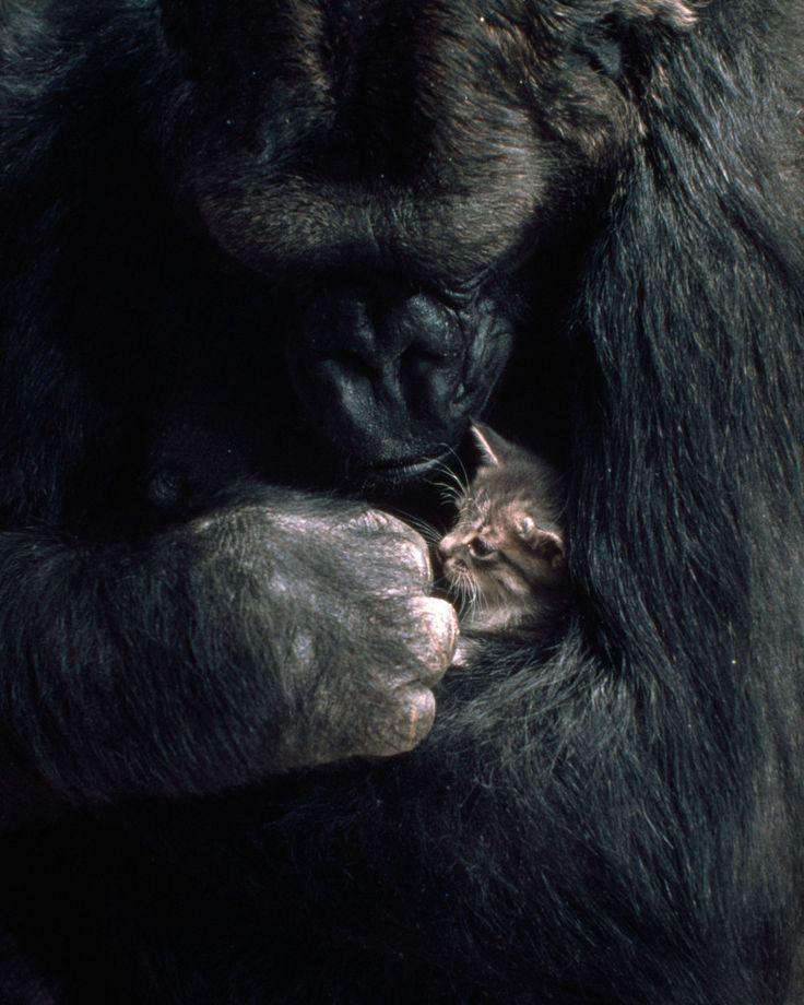 Koko the gorilla holds a kitten,1985.