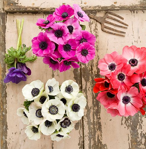"""Anemones! - The Victorian said that they mean """"unfading love"""",  How perfect for a wedding! I may make them out of paper if I can't get them here in the Panhandle."""