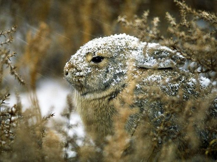 Cottontail Rabbit in the Snow by Joel Sartore.