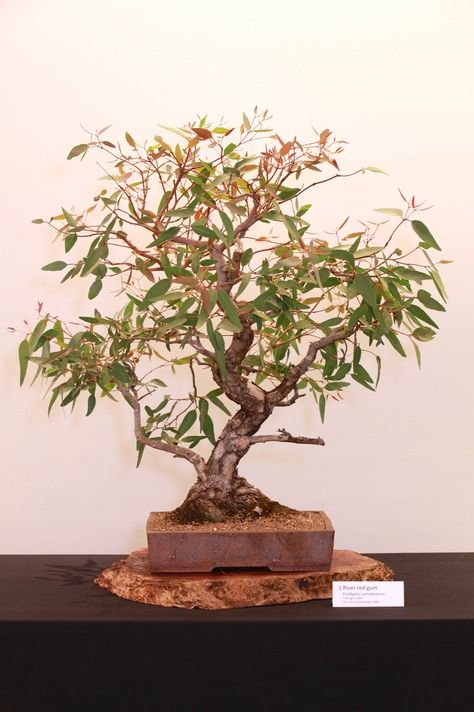 JPB:Bonsai Collection4  |1 River red gum
