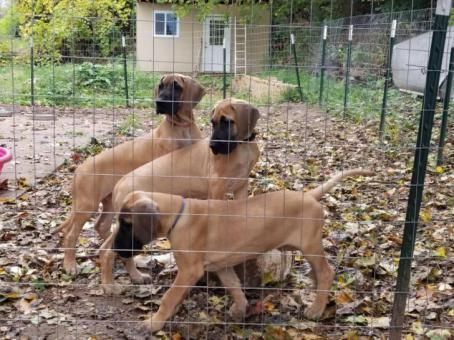 for sale great dane pups