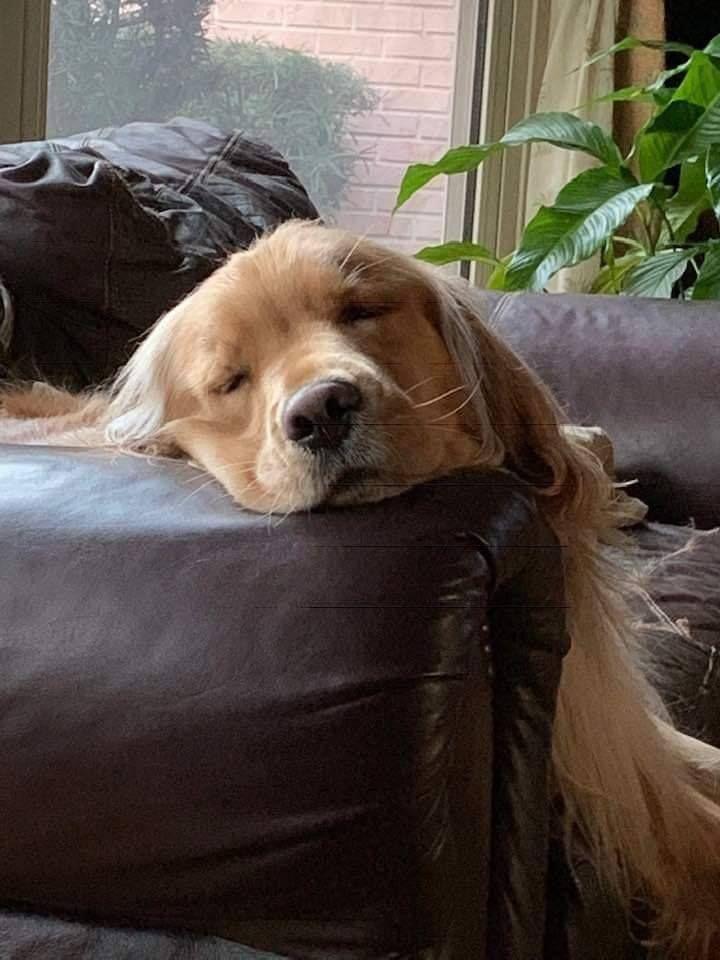 Beautiful & Funny Golden Retriever Picture Golden