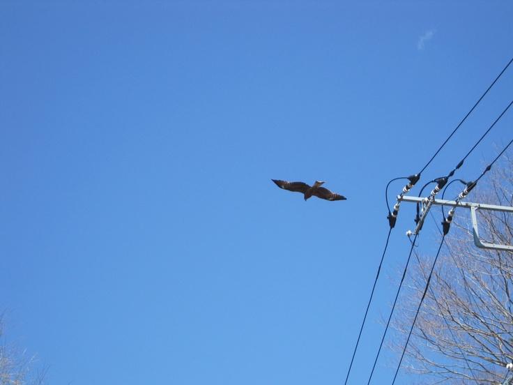 Eagle @ Kawaguchi-Ko