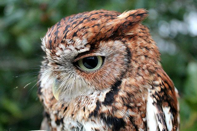 Raptor Center holding 'Whoo Loves You?' Valentine auction to name rescued screech owl