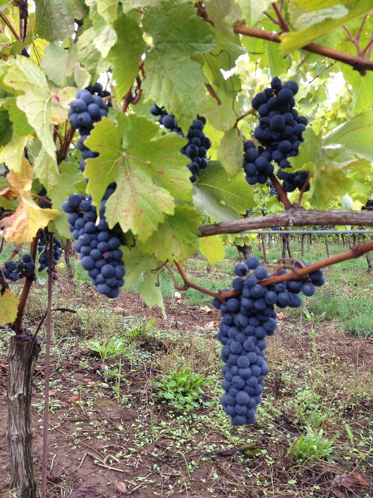 Fairsing Vineyard Pinot noir fruit soaking up the sun before harvest 2013