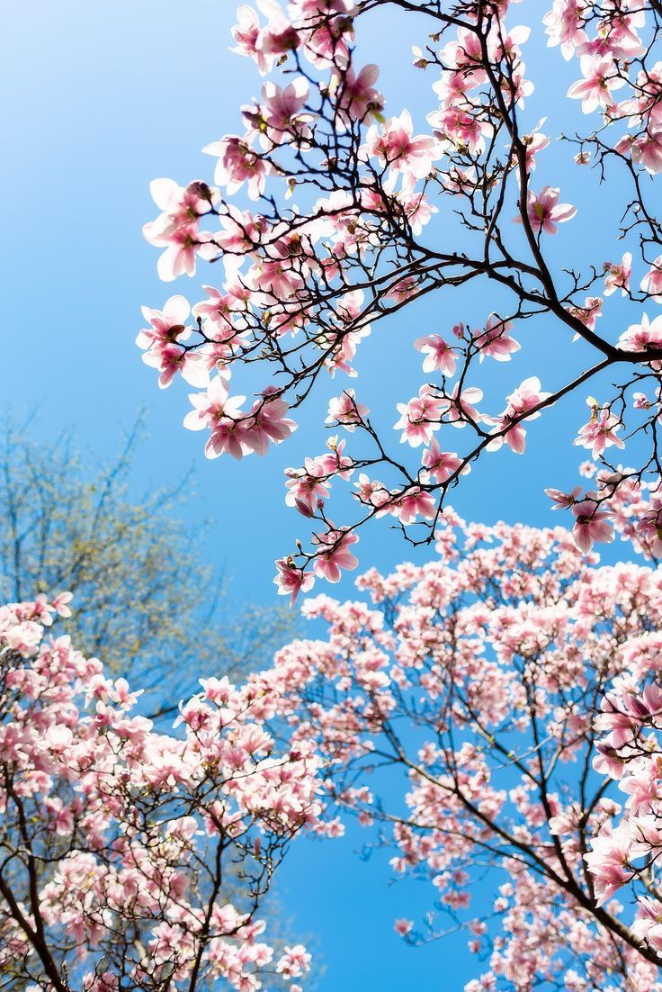 Cherry Blossom In Chicago Video In 2021 Cherry Blossoms Illustration Blossom Blossom Trees