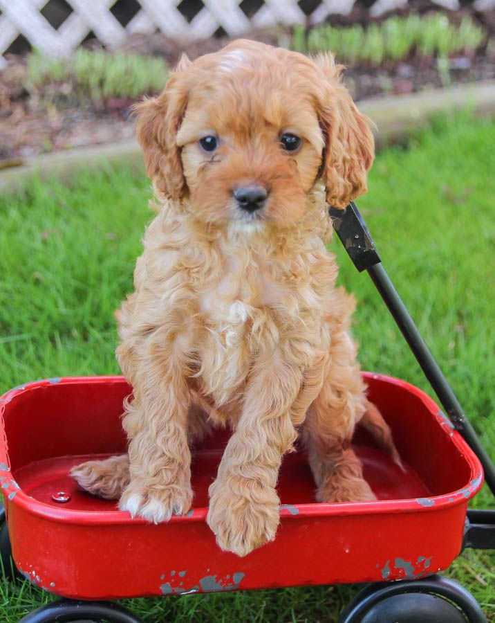 Puppies For Sale Cavapoo Puppies Puppies Dog Friends