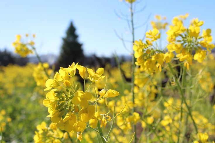 Mustard during the spring at Testa Vineyards. Mendocino County. Ukiah, California.
