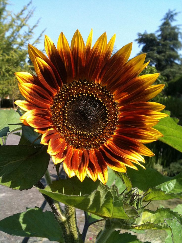 Mexican sunflower - I want some this year.