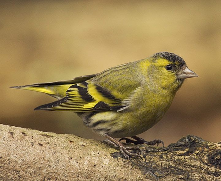 Siskin (Carduelis spinus). The male has a yellow-green body with a black crown. There are yellow patches on the wings and tail. The Siskins are easiest to find during the winter as they search for food. They enjoy eating conifer, alder and birch seeds. #Birds #UK