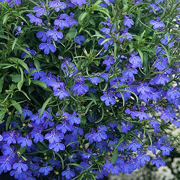 Blue Lobelia Lobelia Flowers Shade Plants Shade Garden