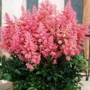 Buy Astilbe Country and Western Perennial Plants Online. Garden Crossings Online Garden Center offers a large selection of False Spirea Plants. Shop our Online Perennial catalog today!