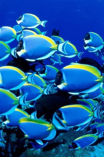 Blue tangs--